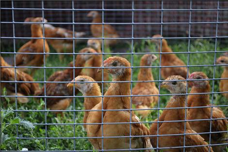 chicken-2735213_1280