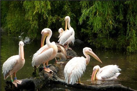 pelicans-140149_1280