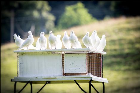 white-doves-1524488_1280