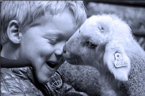 lamb-3947799_1280