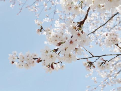 桜と青空の相性は最高