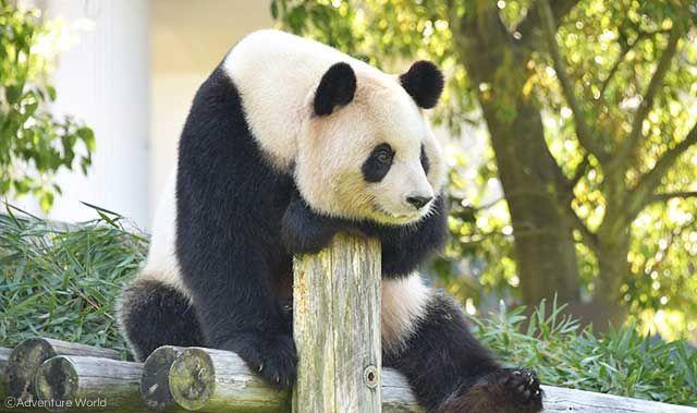panda_rauhin