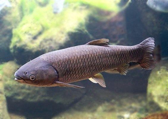 6)中国四大家魚「ソウギョ」 : ...