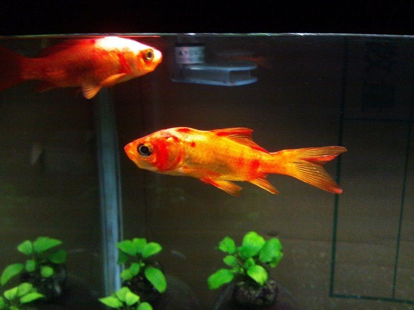 金魚を太らせる(`・c_,・´)