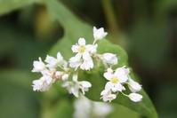 soba_flower