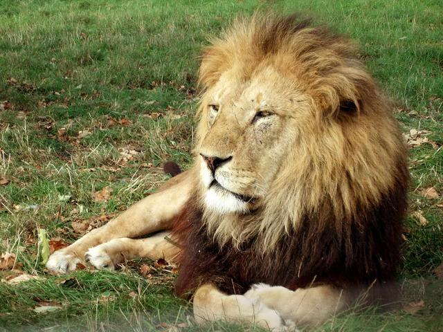 lion-wallpaper7