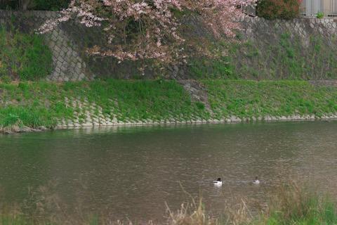 こちらのカモっぽいかたは桜を眺めてますが…