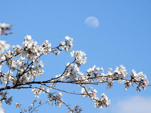 菊池の桜2010-月と