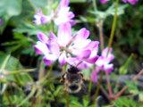蓮華とミツバチ(大)