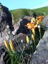 入道崎の岩場に咲く花