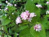 田代湿原の植物(4)