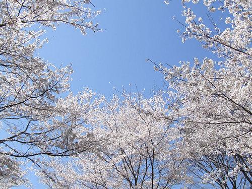 菊池の桜2010-02