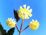 三つ又の花