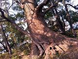 佐嘉神社駐車場の巨木