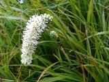 田代湿原の植物(2)