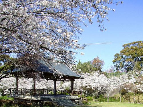 菊池の桜2010-観月楼