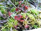 田代湿原の植物(苔)
