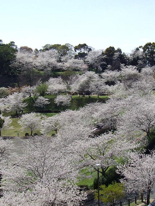 菊池の桜2010-05