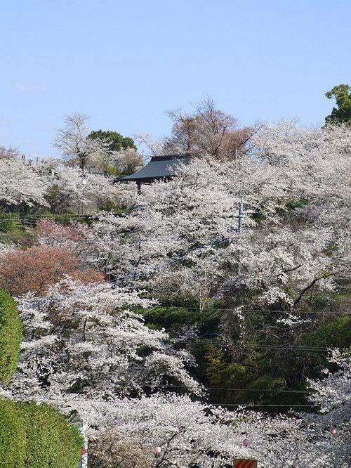 菊池の桜2010-08