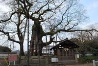 将軍木(20110119_2)