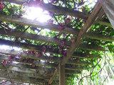 アイラトビカズラ(木漏れ日)