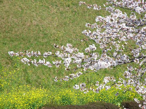 菊池の桜2010-07