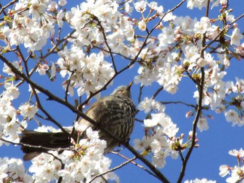 菊池の桜2010-鳥と