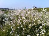 直方 遠賀川沿いのノダイコン