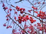 緋寒桜のアップ