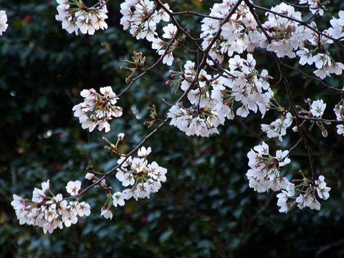 菊池の桜2010-11