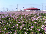 道の駅『うすい』蓮華畑
