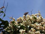 あしびと蝶