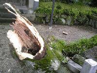 将軍木の枝が!(3)