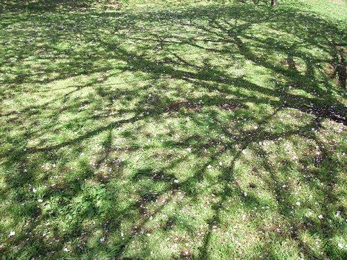 菊池の桜2010-影