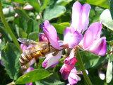 蓮華とミツバチ