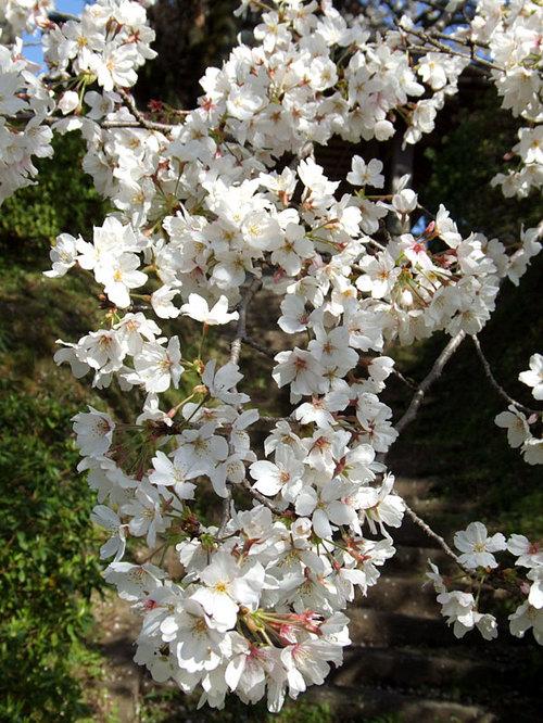菊池の桜2010-09