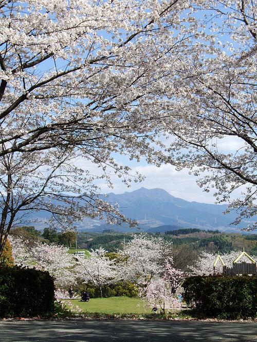 菊池の桜2010-03