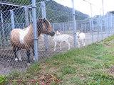 『樽ヶ橋遊園』のポニーと山羊