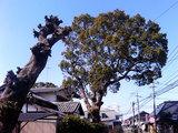天佑寺の穴の空いた樹