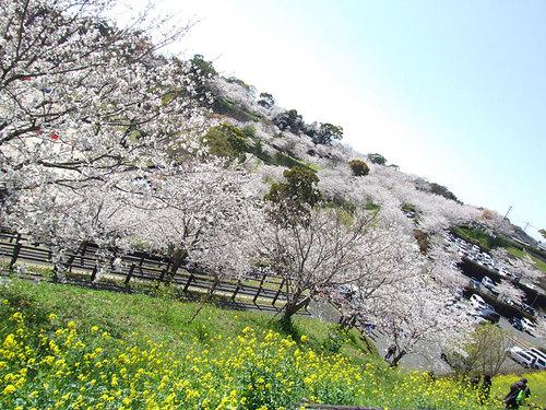菊池の桜2010-06