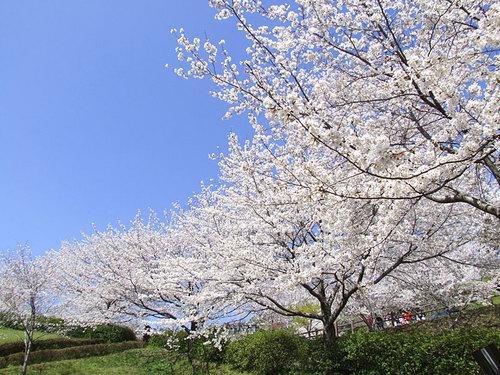 菊池の桜2010-01