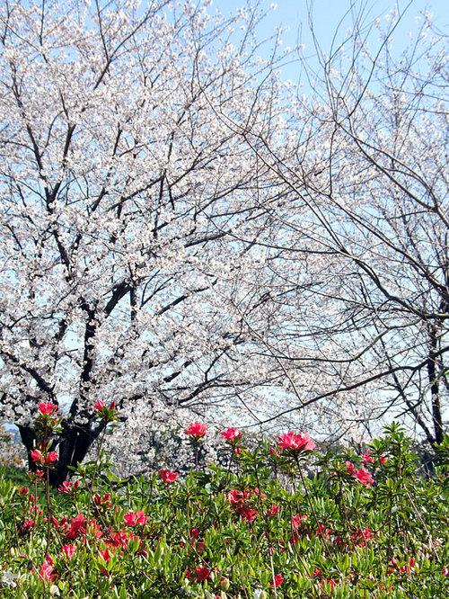 菊池の桜2010-04