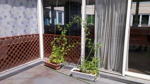 3Fゴーヤグリーンカーテン (1)