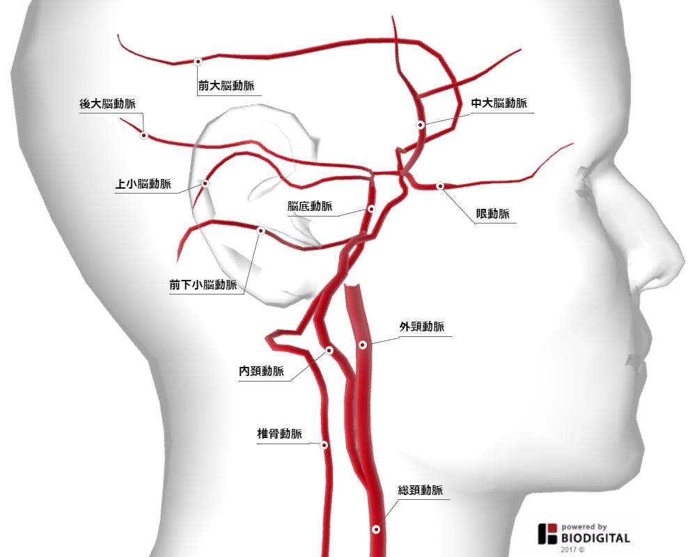 頭部血管_側面