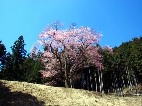 kanayamasakura_takemi02
