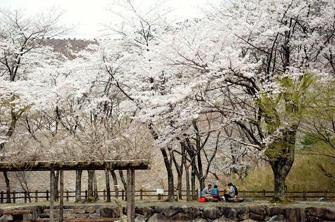 sakura0412_iwaya02