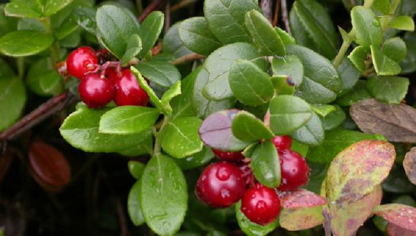 紅莓苔子002