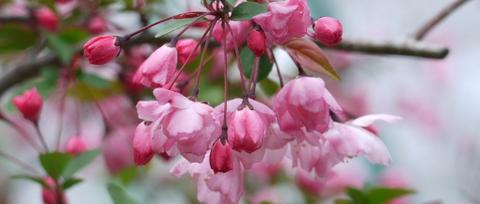 海棠花101