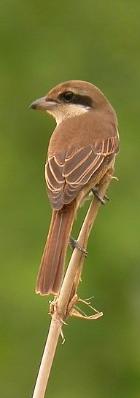百舌鳥02
