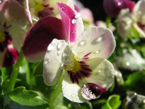雨の珠の花01